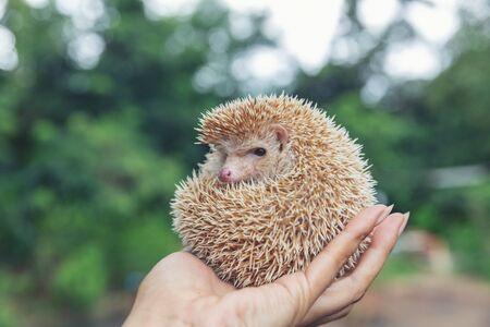 Hedgehog, (Scientific name: Erinaceus europaeus) European hedgehog on hands in the natural garden habitat.