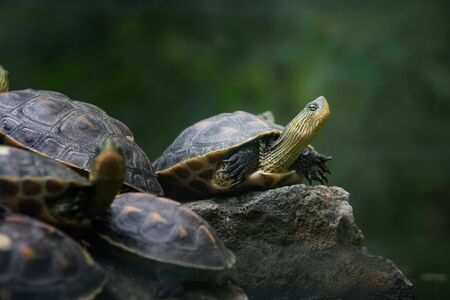 a group of Chinese stripe-necked turtles stand on the stone 스톡 콘텐츠