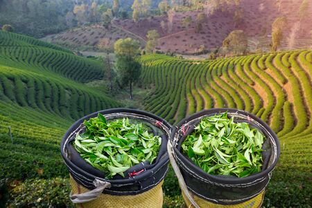 Fresh green tea leaves after being harvested in a basket, the most beautiful tea plantation on the hill in the north of Thailand. 스톡 콘텐츠