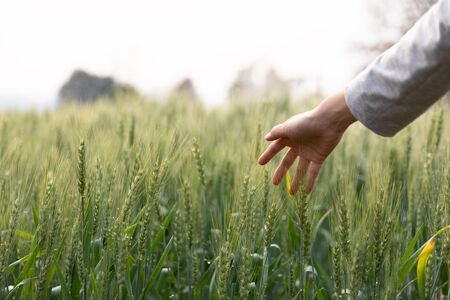 Woman hand touch over the green field of barley. Atmospheric authentic moment. Stylish girl enjoying peaceful evening in countryside. Copy space. Rural slow life