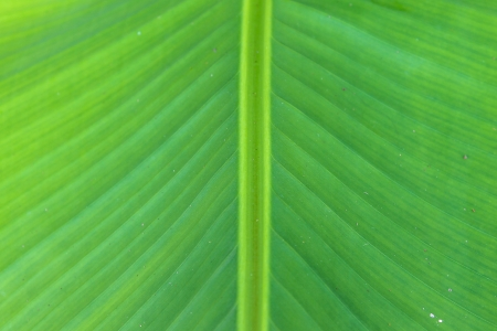 Green Banana Leaf photo