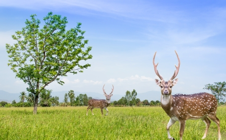 The tree on the rice field under blue sky and two deer Stock Photo - 19197911