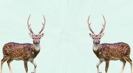 Two large whitetail bucks isolated on effect green background Stock Photo