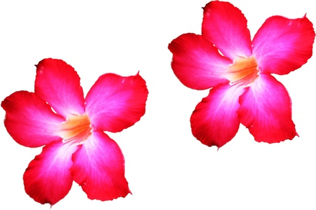 Adenium flower on white background photo