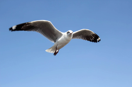 Single sea gull flying against background of blue sky