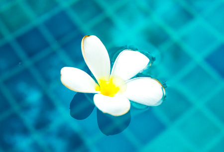 Plumeria floating in blue water at swiming pool photo