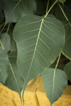 pipal: Close-up of  pipal leaf