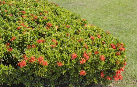 hedge plant: Red Ixora coccinea hedge is a species of flowering plant in the Rubiaceae family.