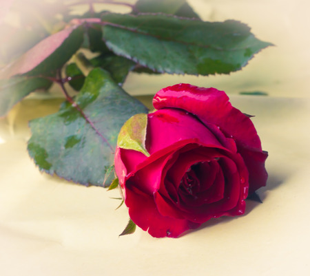 lovelorn: Soft natural light falling  red  rose. Concept photograph for Valentines Day