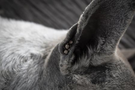 dog tick: Dog ticks in the ear stray dog Stock Photo