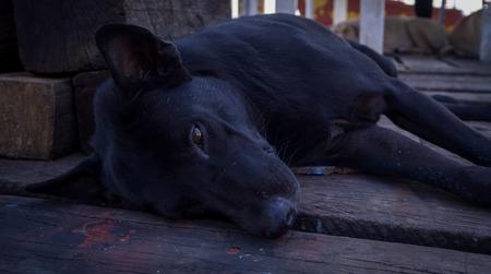 Black dog stray lying on wood floor Stock Photo