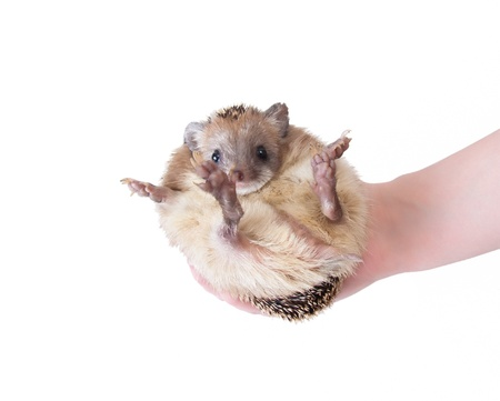 fits in: Eared hedgehog fits in the hand. Isolation on white background
