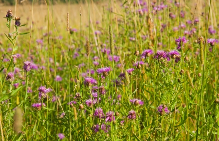 bachelor s button: flowering  summer meadow of cornflowers Stock Photo