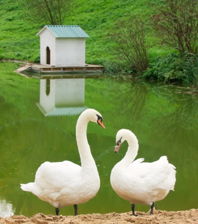 Swans near a pond with house for bird Stock Photo - 15520488