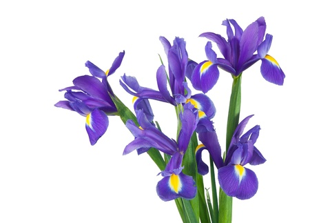 purple iris: bouquet of irises  Isolation on a white background