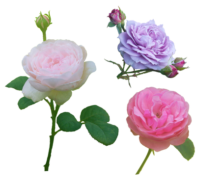 rosa: three flowers roses on a white background, collage Stock Photo