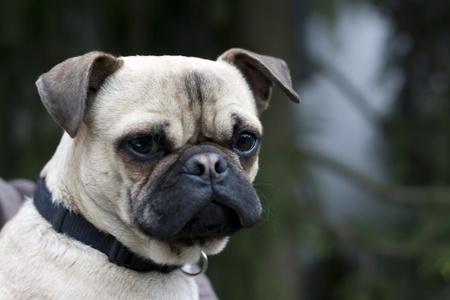 flat nose: Dog