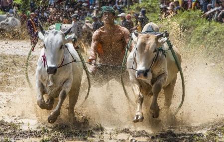 pacu: Pacu Jawi, Minangkabau Traditional sport
