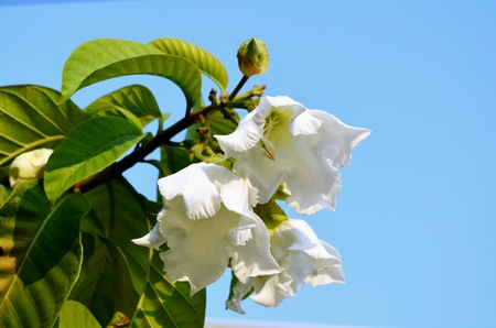 Easter Lily Vine
