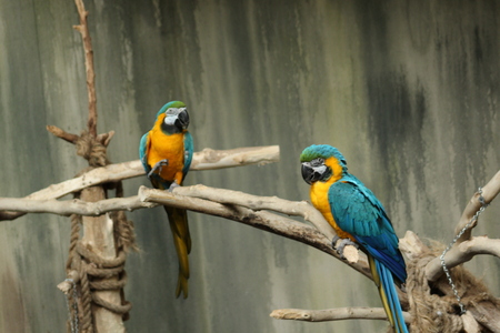 Blue Macaws on the branch Banco de Imagens - 93018216