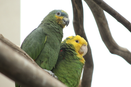 Green Conures on the branch