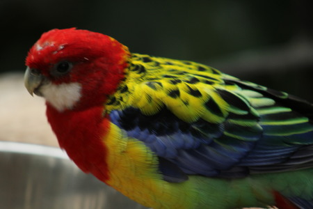 Rainbow bird close up