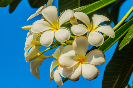 subtropical: beautiful Plumeria Flower with blue sky background and green leaves