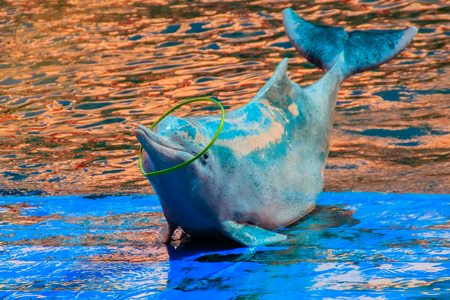 Cute Indo-Pacific humpback dolphin (Sousa chinensis) ,or Pink dolphin, or Chinese white dolphin is playing hoop and dancing shows