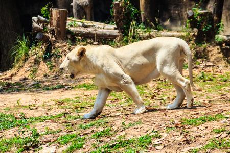 Cute white lion Stock Photo