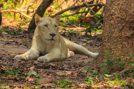 Cute white lion is lying in the shade of tree during summer forest.