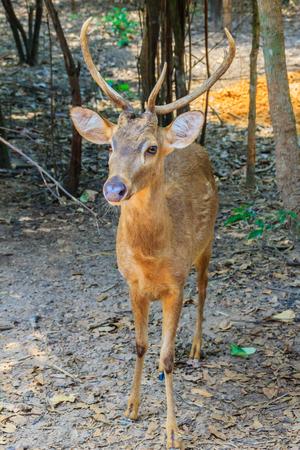 cervus: Cute Hog deer, or Cervus porcinus, or Axis porcinus in the open zoo Stock Photo