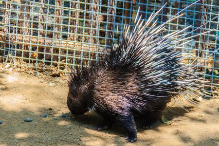 night vision: Cute Malayan porcupine, Himalayan porcupine, Large porcupine (Hystrix brachyur) Stock Photo