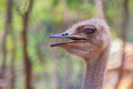 Close up face of the ostrich or common ostrich (Struthio camelus) is either one or two species of large flightless birds.