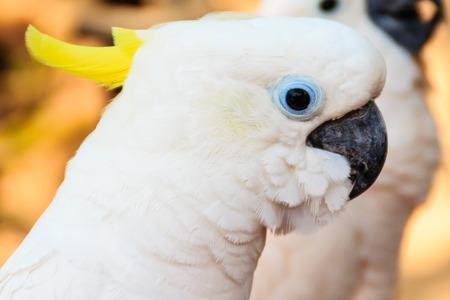 periquito: Cockatoo blanco lindo en el parque zoológico abierto