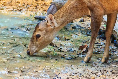 Cute Barking Deer, or Red Muntjac in common name or Muntiacus muntjak in Scientific name is drinking water in the stream at the open zoo