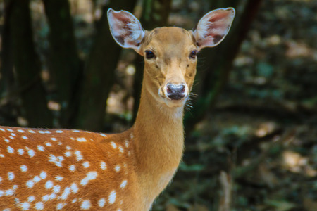 Cute Chital or Spotted Deer doe (Axis axis) in the open zoo