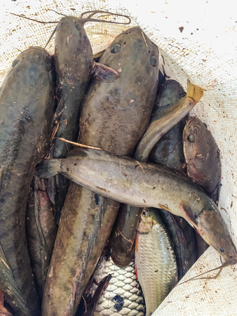 chevron snakehead: Catching snake head fish including catfish in plastic bag