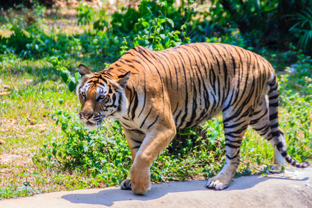 Indochinese tiger, or Corbetts tiger, or Panthera tigris corbetti is walking