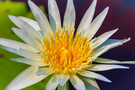 Close up of a beautiful white water lily with yellow pollen