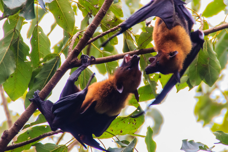 Lyles flying fox,  Pteropus vampyrus, Pteropus lylei or Khangkao Maekai (Hen Bats) in Thai language at Wat Po, Bangkla, Chachoengsao, Thailand. Stock Photo