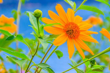 tree marigold: Close-up Tree marigold, Mexican sunflower, Nitobe chrysanthemum (Tithonia diversifolia) in the morning at Sun Moon Lake, Nantou, Taiwan.