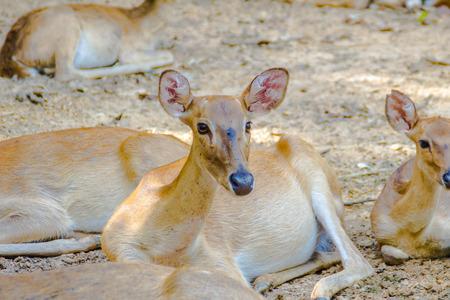 siamensis: Cervus eldi, or Siamese Elds deer in the open zoo