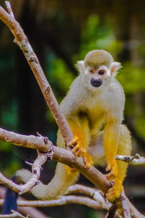 Squirrel monkey, or Saimiri Sciurea at the open zoo