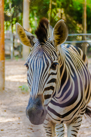 Zebra animal mammal hoofed odd. Classified in the genus horse (Eguus) and is in subgenus Hippotigris (eg zebra tiger) and Dolichohippus. Divided into 3 types