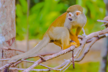 threatened: Squirrel monkey, or Saimiri Sciurea at the public zoo Stock Photo