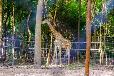 Giraffa or giraffe in the zoo