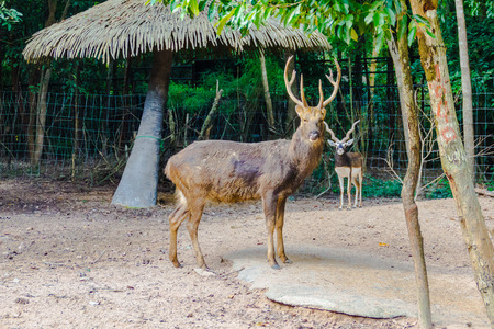 Barasingha (Cervus duvauceli), also called swamp deer, graceful deer, belonging to the family Cervidae (order Artiodactyla) at the open zoo Stock Photo