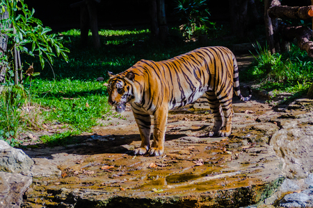 Indochinese tiger, or Corbetts tiger, or Panthera tigris corbetti in the open zoo