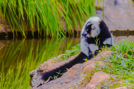 Endemic Black-and-white ruffed lemur (Varecia variegata subcincta) at the open zoo