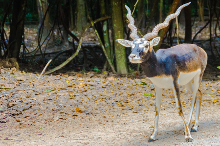 Blackbuck (Antilope cervicapra) or Indian antelope in the open zoo